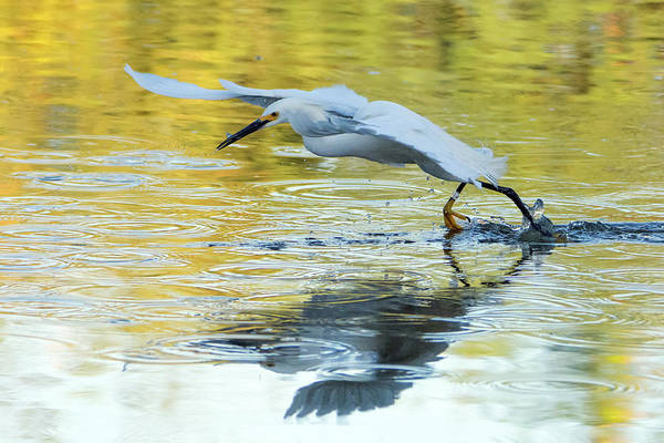 Photograph - Snowy Egret 8673-061919 by Tam Ryan