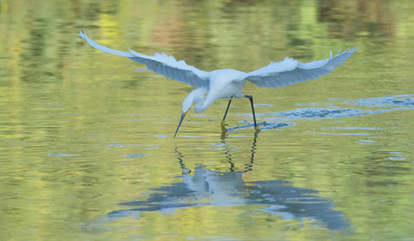 Photograph - Snowy Egret 8686-061919 by Tam Ryan