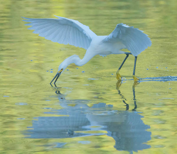 Photograph - Snowy Egret 8690-061919 by Tam Ryan