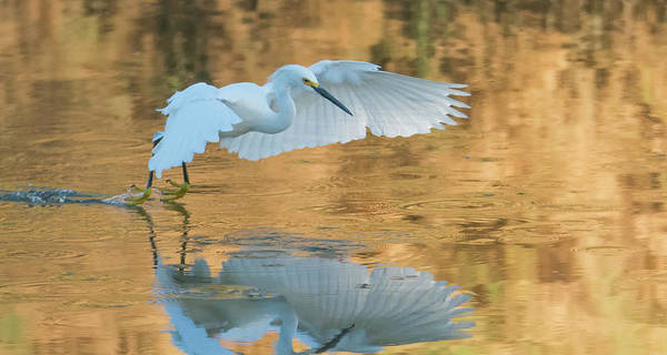 Photograph - Snowy Egret 8709-061919 by Tam Ryan