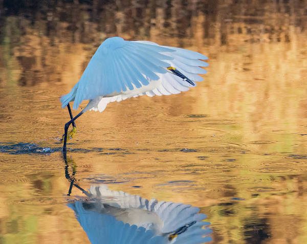 Photograph - Snowy Egret 8711-061919 by Tam Ryan
