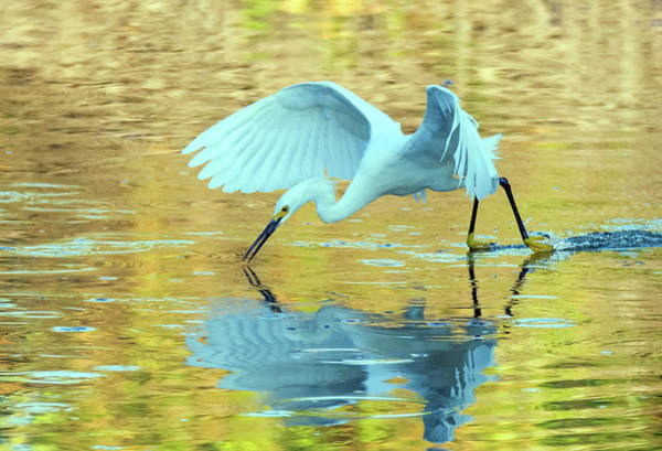 Photograph - Snowy Egret 8725-061919 by Tam Ryan