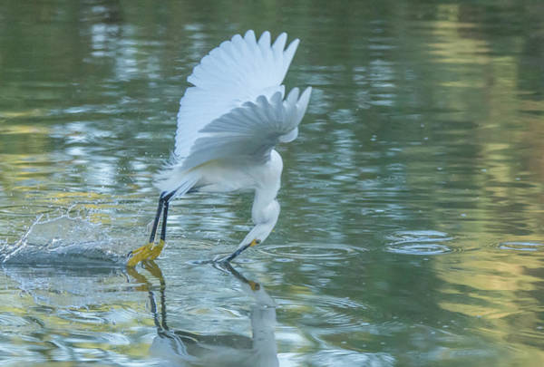 Photograph - Snowy Egret 8726-061919 by Tam Ryan