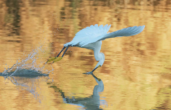 Photograph - Snowy Egret 8729-061919-2 by Tam Ryan