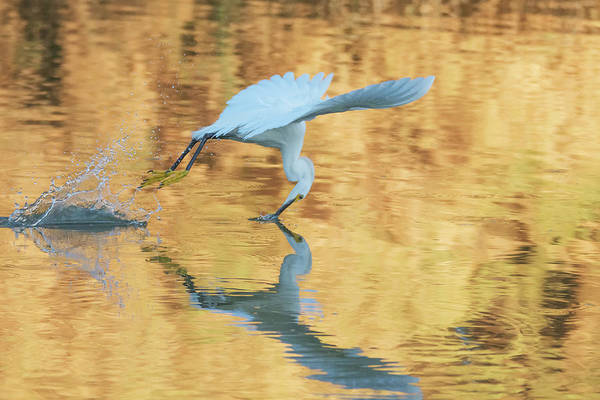 Photograph - Snowy Egret 8729-061919 by Tam Ryan