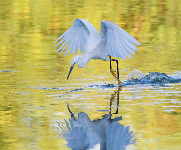 Photograph - Snowy Egret 8739-061919 by Tam Ryan