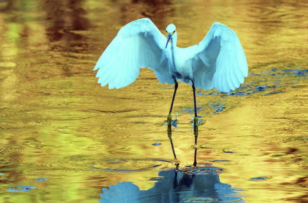 Photograph - Snowy Egret 8767-061919 by Tam Ryan