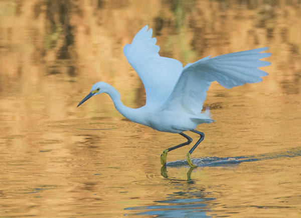 Photograph - Snowy Egret 8781-061919 by Tam Ryan