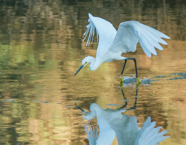 Photograph - Snowy Egret 8787-061919 by Tam Ryan
