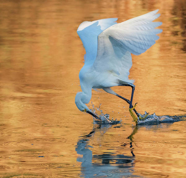 Photograph - Snowy Egret 8840-061919 by Tam Ryan