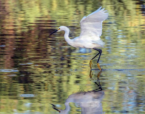 Photograph - Snowy Egret 8917-061919 by Tam Ryan