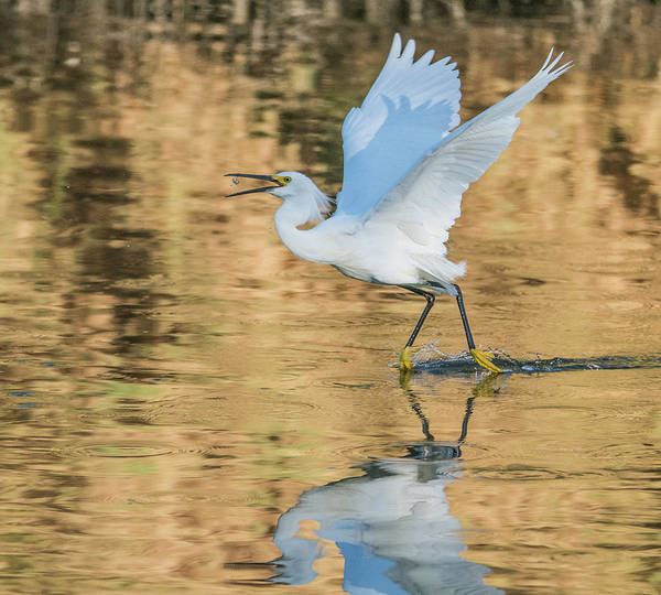 Photograph - Snowy Egret 8932-061919 by Tam Ryan