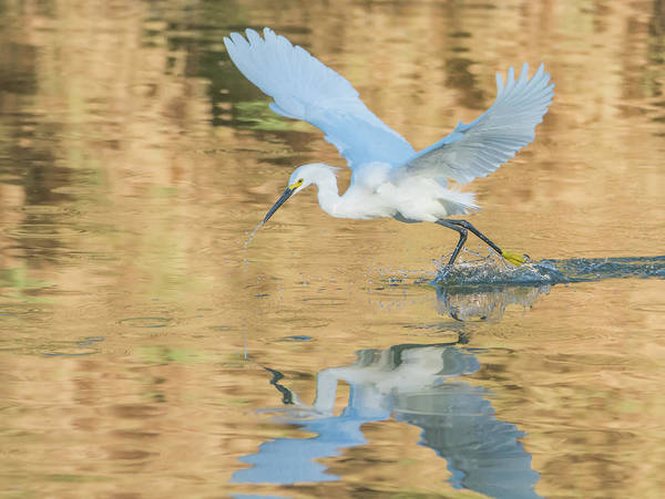 Photograph - Snowy Egret 8947-061919 by Tam Ryan