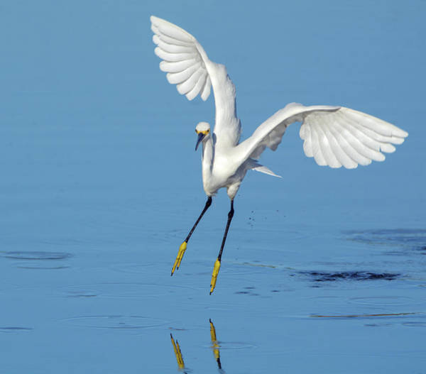 Photograph - Snowy Egret 9030-061919 by Tam Ryan