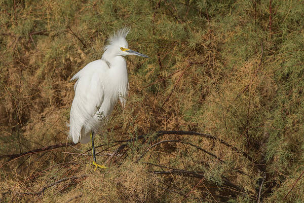 Photograph - Snowy Egret 9361-123018-1 by Tam Ryan