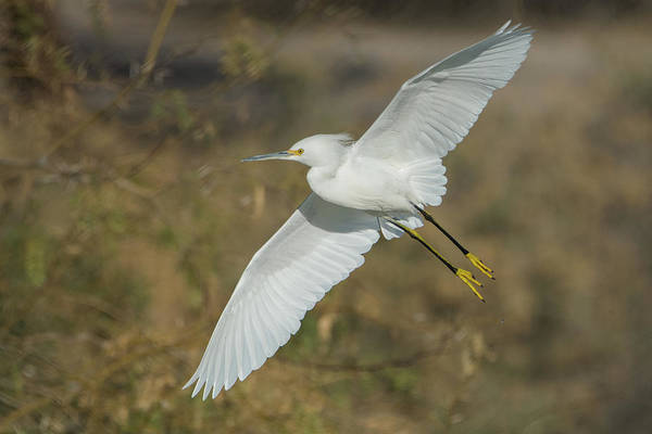 Photograph - Snowy Egret 9765-010419-1 by Tam Ryan