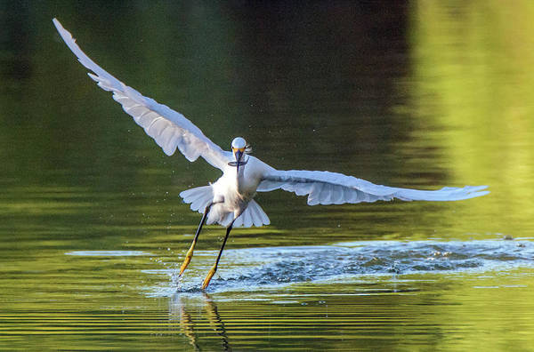 Photograph - Snowy Egret And Fish 6415-081619 by Tam Ryan