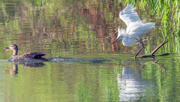 Photograph - Snowy Egret And Mallard Duck 4458-080119 by Tam Ryan