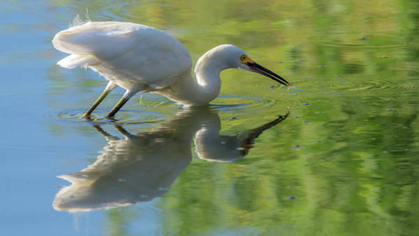 Photograph - Snowy Egret And Small Fish 4441-080119 by Tam Ryan