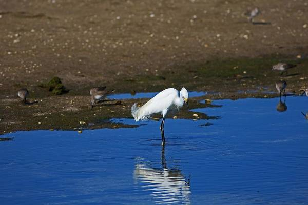 Photograph - Snowy Egret At Ding by Michiale Schneider