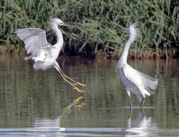 Photograph - Snowy Egret Chase 0385-082119 by Tam Ryan