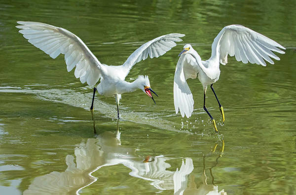 Photograph - Snowy Egret Chase 4141-072919 by Tam Ryan