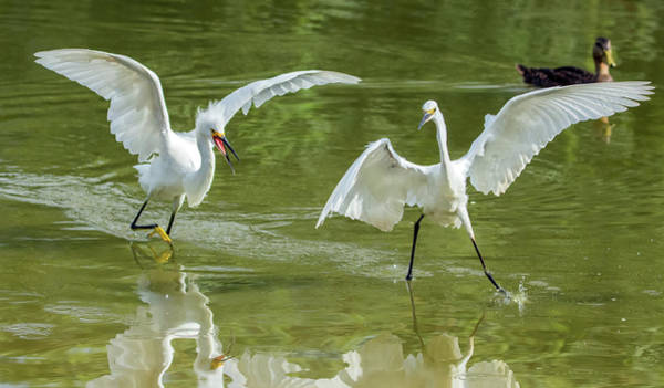 Photograph - Snowy Egret Chase 4142-072919 by Tam Ryan