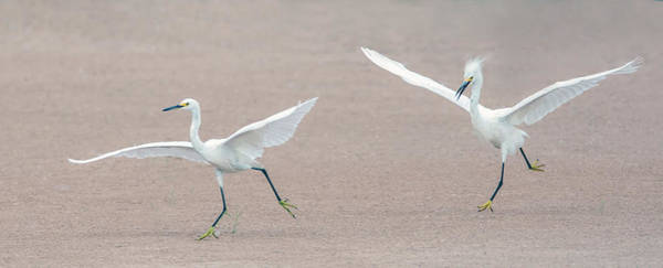 Photograph - Snowy Egret Chase 4652-080719 by Tam Ryan