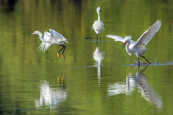Photograph - Snowy Egret Chase 4740-060219 by Tam Ryan