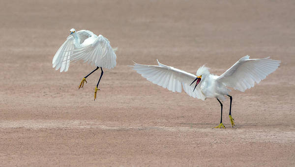 Photograph - Snowy Egret Chase 5470-080919 by Tam Ryan