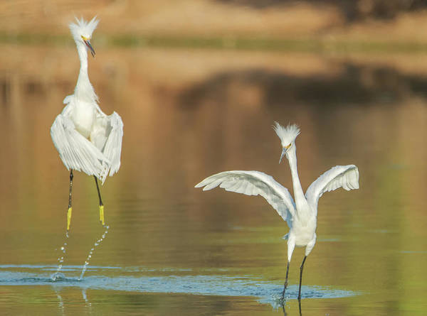 Photograph - Snowy Egret Chase 5857-081119 by Tam Ryan