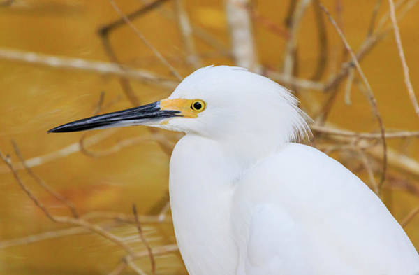 Ding Photograph - Snowy Egret, Ding Darling National by William Sutton