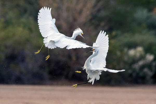Photograph - Snowy Egret Fight 5126-121418-1 by Tam Ryan