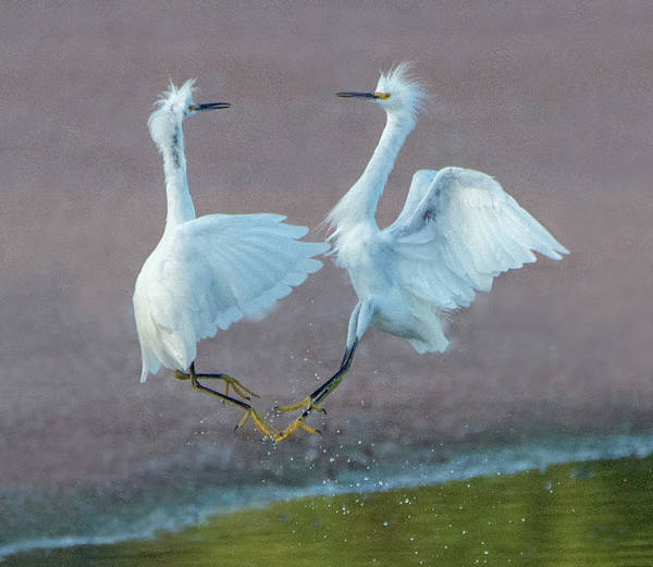 Photograph - Snowy Egret Fight 6121-081219 by Tam Ryan