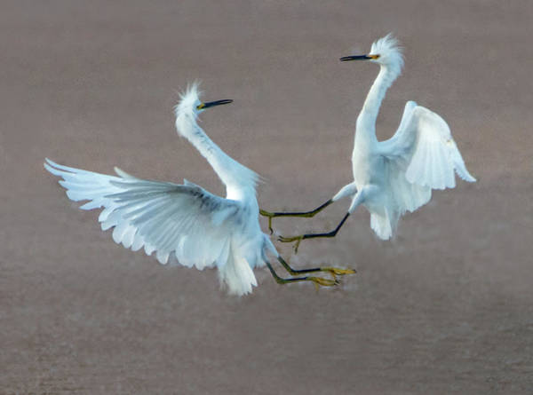 Photograph - Snowy Egret Fight 6127-081219 by Tam Ryan
