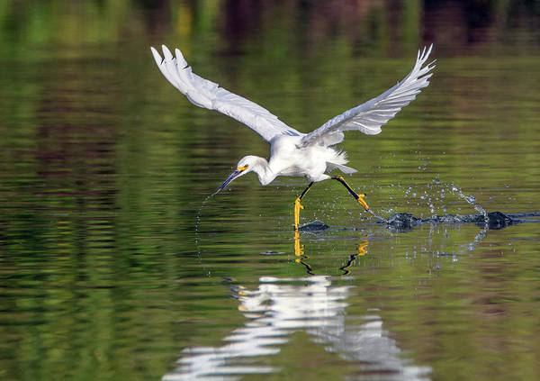 Photograph - Snowy Egret Fishing 4716-080719 by Tam Ryan