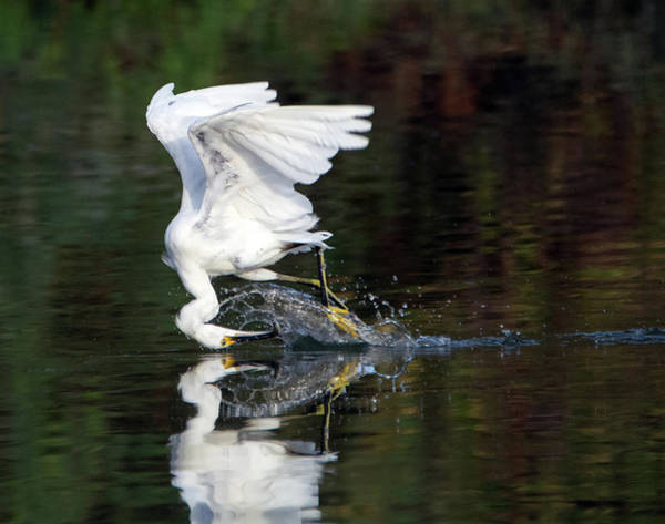 Photograph - Snowy Egret Fishing 5309-080919 by Tam Ryan