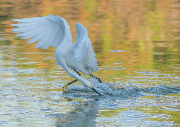 Photograph - Snowy Egret Fishing 8603-062419 by Tam Ryan