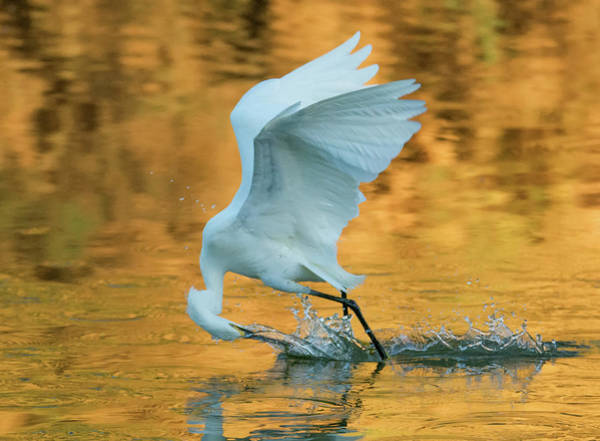 Photograph - Snowy Egret Fishing 8645-061919 by Tam Ryan
