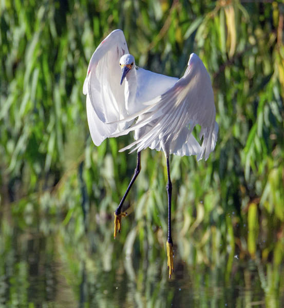 Photograph - Snowy Egret Flight 6615-081619 by Tam Ryan