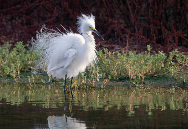 Photograph - Snowy Egret Fluff 4659-080719 by Tam Ryan