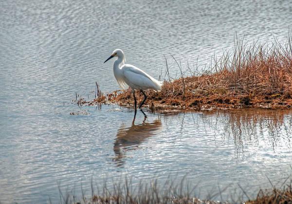 Snowy Egret Hunting A Salt Marsh Art Print