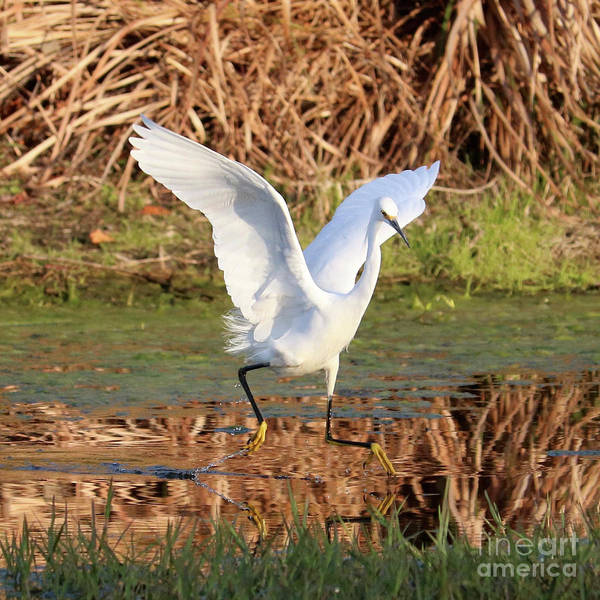 Wall Art - Photograph - Snowy Egret Leap Square by Carol Groenen