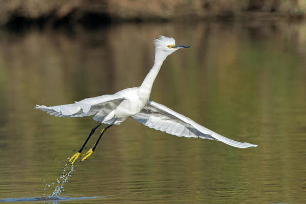 Photograph - Snowy Egret Liftoff 6387-121818-1 by Tam Ryan