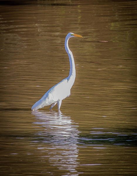 Wall Art - Photograph - Snowy Egret by Lora J Wilson