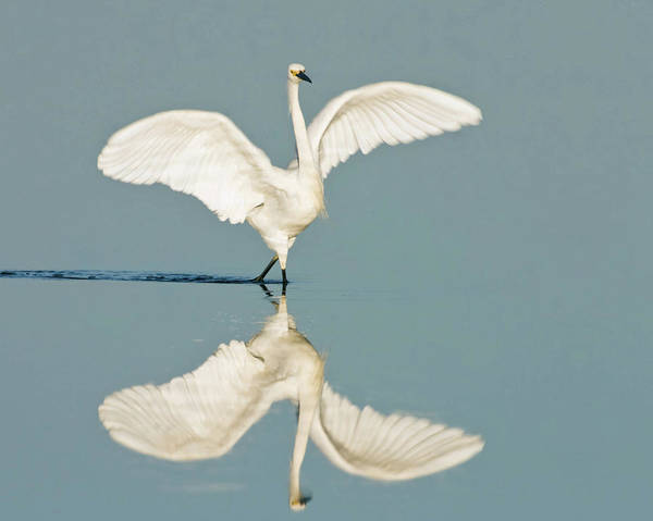 Wading Photograph - Snowy Egret by Mark J M Wilson / Rusticolus.co.uk
