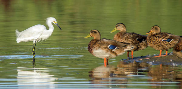 Photograph - Snowy Egret Meets Mallards 6707-081819 by Tam Ryan