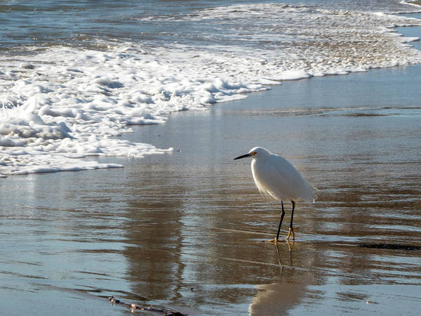 Photograph - Snowy Egret On A California Beach by Mary Lee Dereske