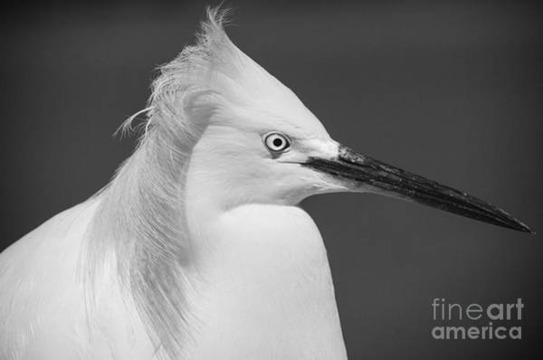 Wall Art - Photograph - Snowy Egret Portrait Black And White by Stefano Senise