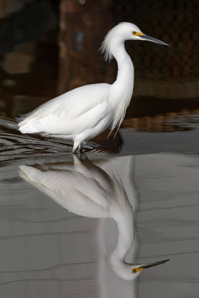 Wall Art - Photograph - Snowy Egret Reflected 01-04 by Bruce Frye